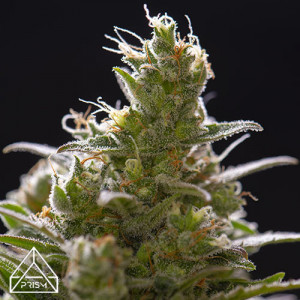 Gorilla Glue #4 Feminized Seeds (Prism Seeds)