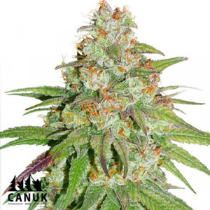Glueberry OG Feminized Seeds (Canuk Seeds) - ELITE STRAIN