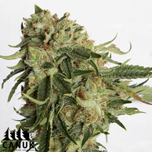 Gold Rush Feminized Seeds (Canuk Seeds) - ELITE STRAIN