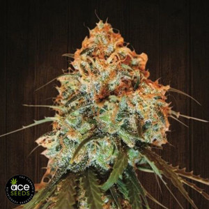 Golden Tiger Breeders Pack FEMINIZED Seeds (Ace Seeds)