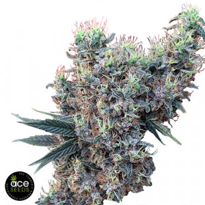 Golden Tiger x Panama FEMINIZED Seeds (Ace Seeds)