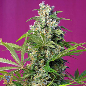 Gorilla Girl Feminized Seeds (Sweet Seeds)