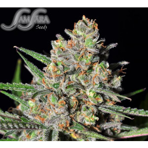 Green Love Potion FEMINIZED Seeds (Samsara Seeds)