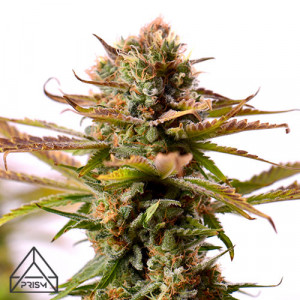 Girl Scout Cookies Auto Feminized Seeds (Prism Seeds)
