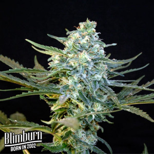 Guanabana Feminized Seeds (BlimBurn Seeds)