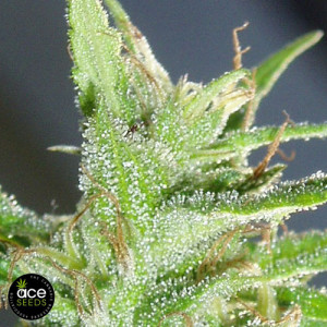 Guawi FEMINIZED Seeds (Ace Seeds)