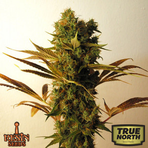 Hammer Shark Feminized Seeds (Resin Seeds)