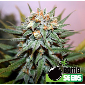 Hash Bomb Feminized Seeds (Bomb Seeds)