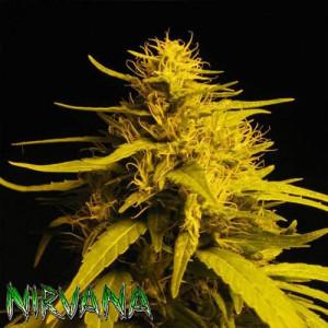 Haze #1 FEMINIZED Seeds (Nirvana Seeds)