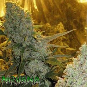 Haze #1 REGULAR Seeds (Nirvana Seeds)