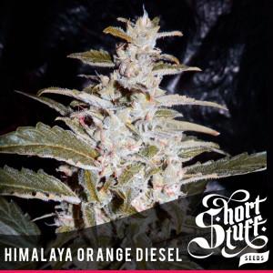 Himalaya Orange Diesel AUTOFLOWERING FEMINIZED Seeds (Shortstuff Seeds)