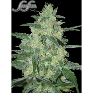 Holy Grail 69 FEMINIZED Seeds (Samsara Seeds)
