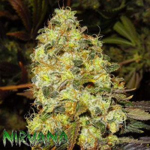 Ice REGULAR Seeds (Nirvana Seeds)