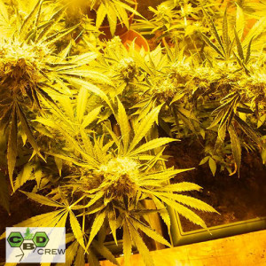 Mix Indica FEMINIZED Seeds (CBD Crew)