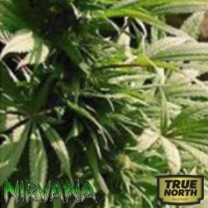 Indoor Mix Feminized Seeds (Nirvana Seeds)