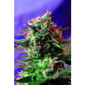 Jack 47 Feminized Seeds (Sweet Seeds)