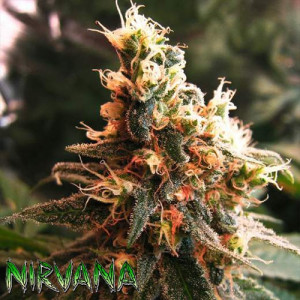 AUTO Jock Horror FEMINIZED Seeds (Nirvana Seeds)