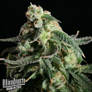 Kabrales Feminized Seeds (BlimBurn Seeds)