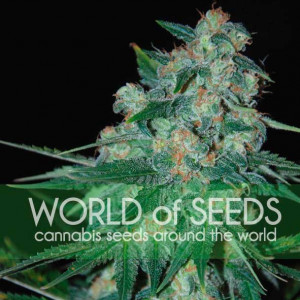 Ketama REGULAR Seeds (World of Seeds)