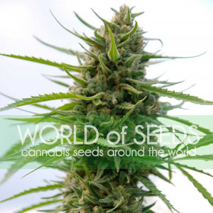 Kilimanjaro Feminized Seeds (World of Seeds)