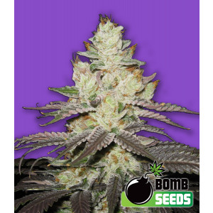 Killer Purps Feminized Seeds (Bomb Seeds)