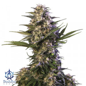 Kraken FEMINIZED Seeds (Buddha Seeds)