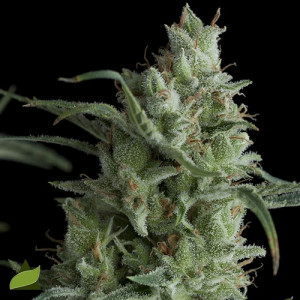 Kryptonite FEMINIZED Seeds (Pyramid Seeds)
