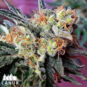 Kushy Kush Feminized Seeds (Canuk Seeds)