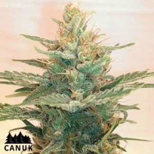Lemonade OG Feminized Seeds (Canuk Seeds)