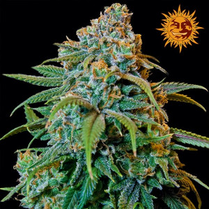 Liberty Haze Feminized Seeds (Barney's Farm)