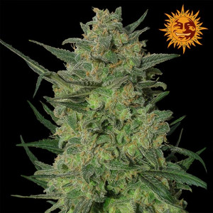 LSD Feminized Seeds (Barney's Farm)