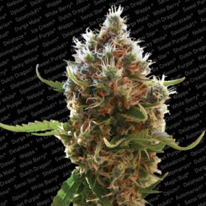 Lucid Bolt Feminized Seeds (Paradise Seeds)