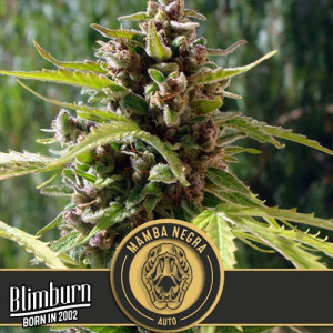Mamba Negra AUTO FEMINIZED Seeds (BlimBurn Seeds)