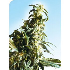 Mexican Sativa REGULAR Seeds (Sensi Seeds)