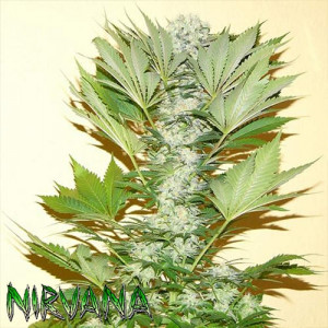 Misty Kush FEMINIZED Seeds (Nirvana Seeds)