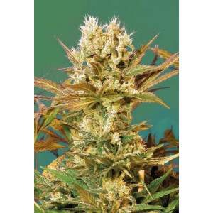 Motavation Feminized Seeds (Serious Seeds)
