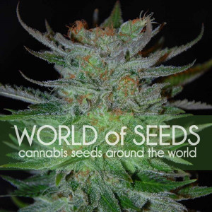 New York 47 Feminized Seeds (World of Seeds)