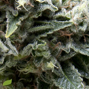 AUTO New York City FEMINIZED Seeds (Pyramid Seeds)