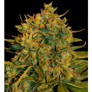Northern Light x Big Bud Feminized Seeds (World of Seeds)