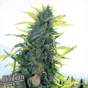 Northern Light Automatic Feminized Seeds (BlimBurn Seeds)
