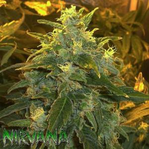 Northern Light Feminized Seeds (Nirvana Seeds)