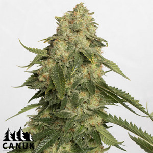 Obi-Wan Kush Feminized Seeds (Canuk Seeds) - ELITE STRAIN