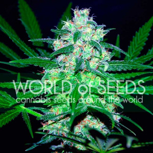 Pakistan Valley Feminized Seeds (World of Seeds)