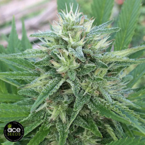 Panama x Bangi Haze Regular Seeds (Ace Seeds)