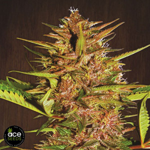 Pakistan Chitral Kush Breeders Pack FEMINIZED Seeds (Ace Seeds)
