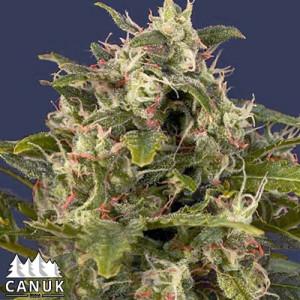 Pineapple Express #2 Feminized Seeds (Canuk Seeds)