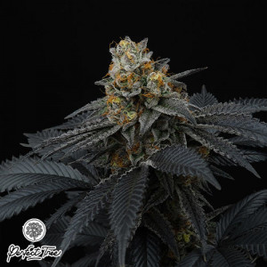 Pink Gasoline FEMINIZED Seeds (Perfect Tree Seeds)