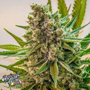 Princess Haze REGULAR Seeds (Brothers Grimm Seeds)