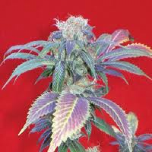Purple Haze # 1 Feminized Seeds (Positronics Seeds)