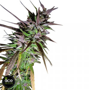 Purple Pakistani Haze FEMINIZED Seeds (Ace Seeds)